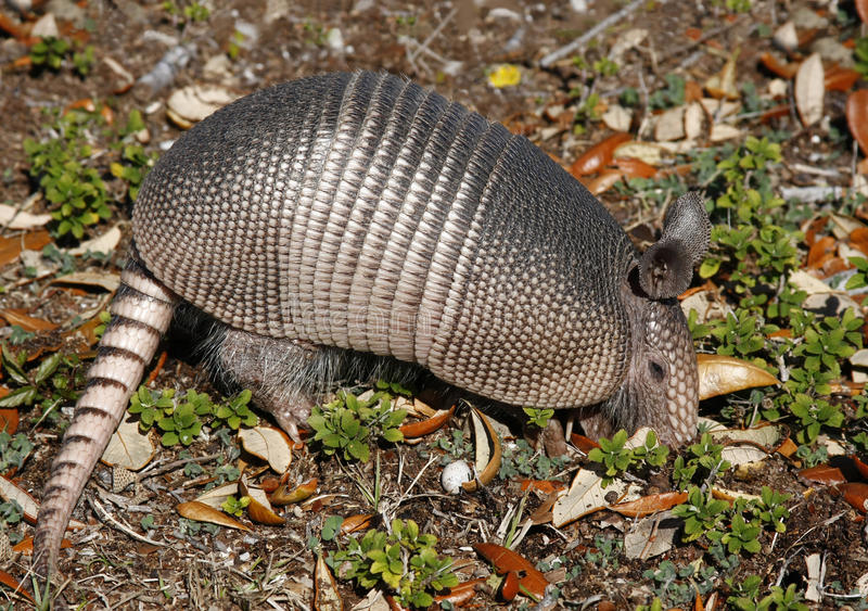 Armadillo Digging for insects royalty free stock photography