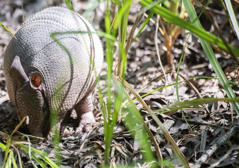 Armadillo Foraging In Forest stock photo