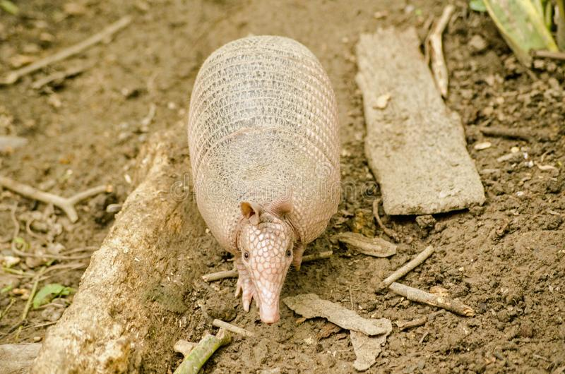 Armadillo, full length- Tobago. View from above of a nine banded armadillo, known locally as a tattoo, in the rainforest in Tobago. Latin name Dasypus stock images