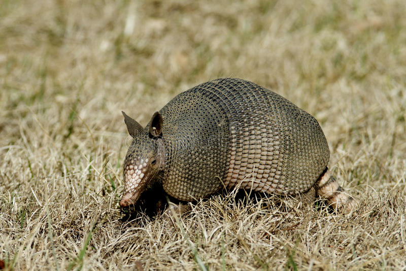Armadillo in the grass Left Side. Side view, left side of a Nine-banded Armadillo with leathery armor shell on the Natchez Trace Parkway, Tishomingo County stock photography
