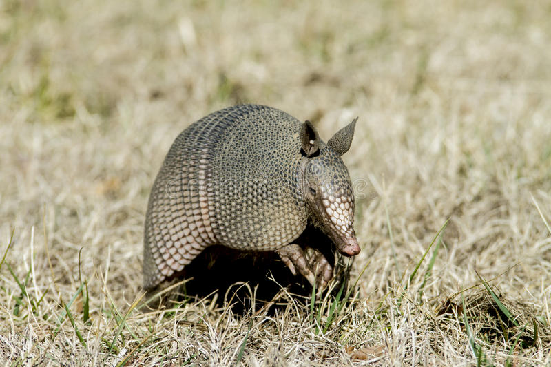 Armadillo in the Grass. Nine-banded Armadillo with leathery armor shell on the Natchez Trace Parkway, Tishomingo County, Mississippi royalty free stock photography