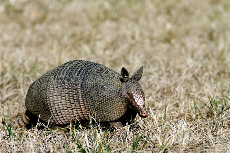 Armadillo in the Grass Right Side. Side view, right side of a Nine-banded Armadillo with leathery armor shell on the Natchez Trace Parkway, Tishomingo County royalty free stock images