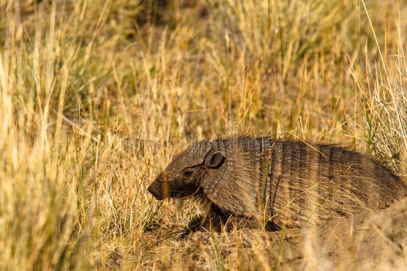 Armadillo in hole. Armadillo dug out hole near the lamb carcass that gave him safe place from other scavengers stock photography