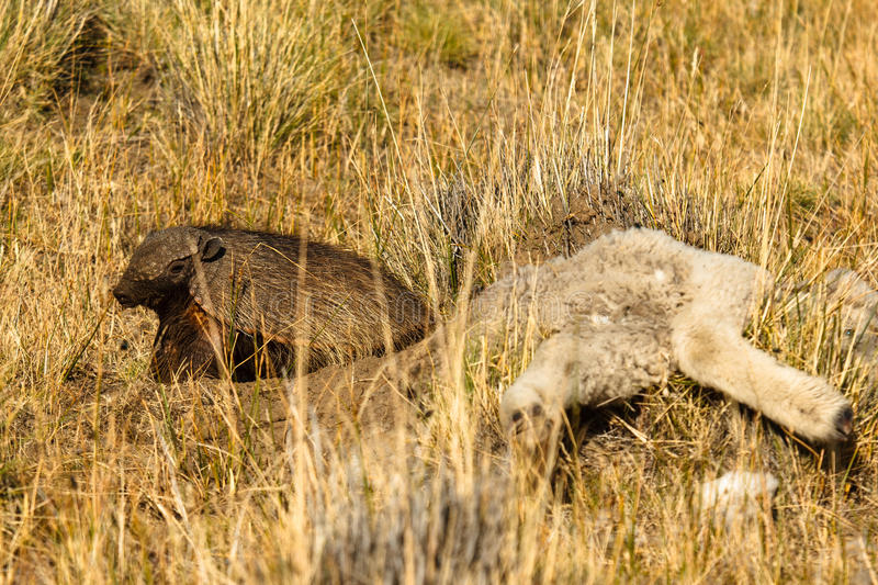 Armadillo with lamb. Armadillo dug out hole near the lamb carcass that gave him safe place from other scavengers stock images