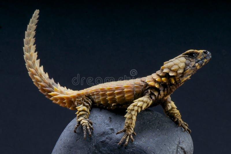 Armadillo lizard / Cordylus cataphractus stock images
