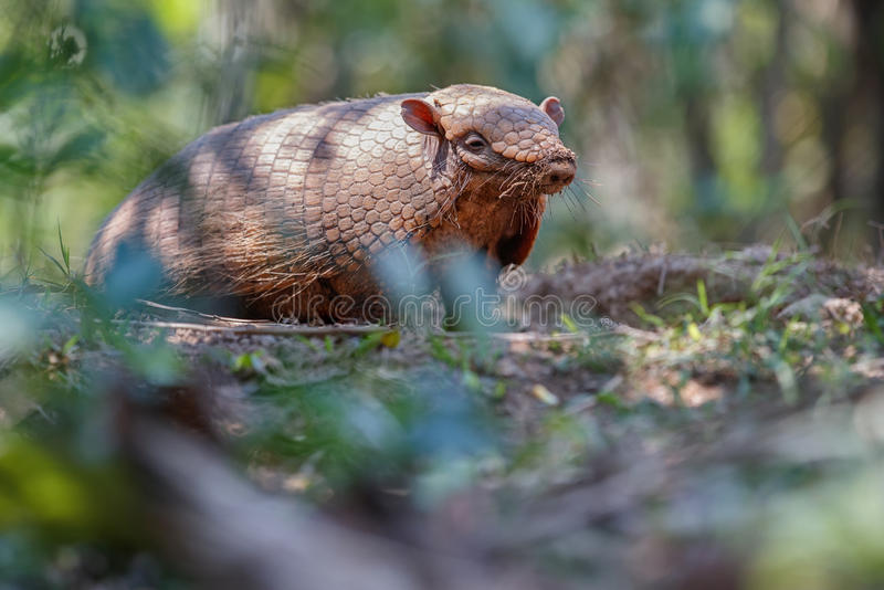 Armadillo in the nature habitat of brazilian forest. Euphractus sexcinctus, amazing creature, south american wildlife, beauty of nature, wild in pantanal royalty free stock photos