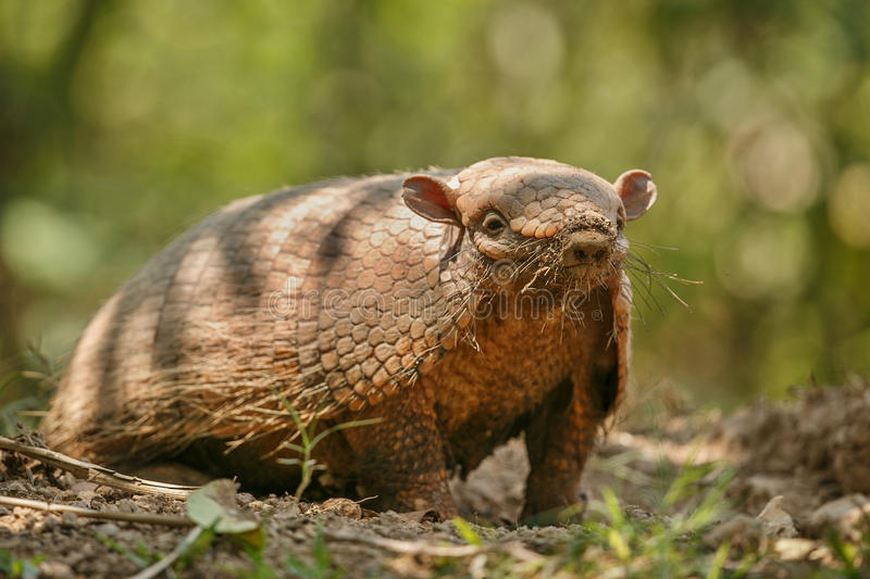 Armadillo in the nature habitat of brazilian forest stock photo