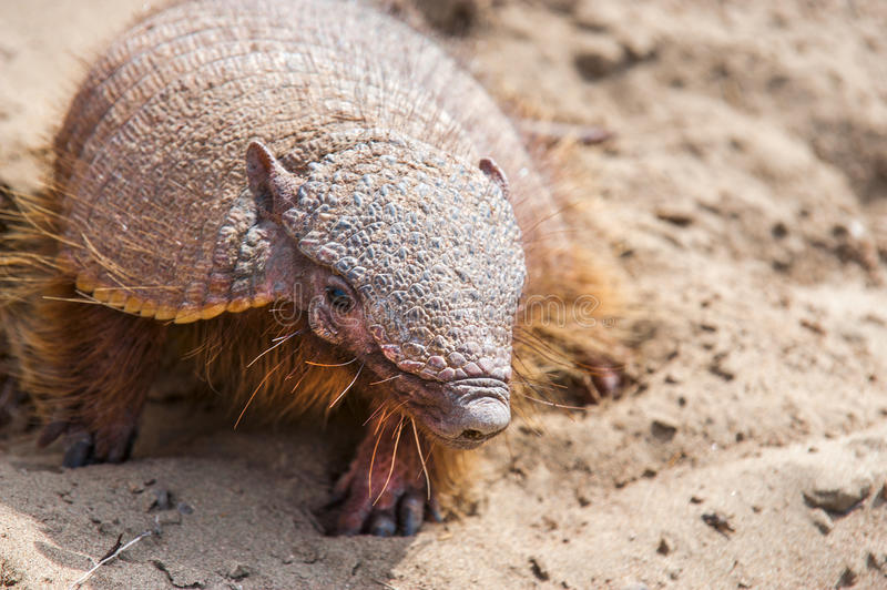 Armadillo from Peninsula Valdez, Patagonia royalty free stock image