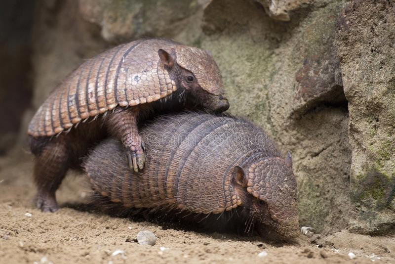 Armadillo portrait royalty free stock images