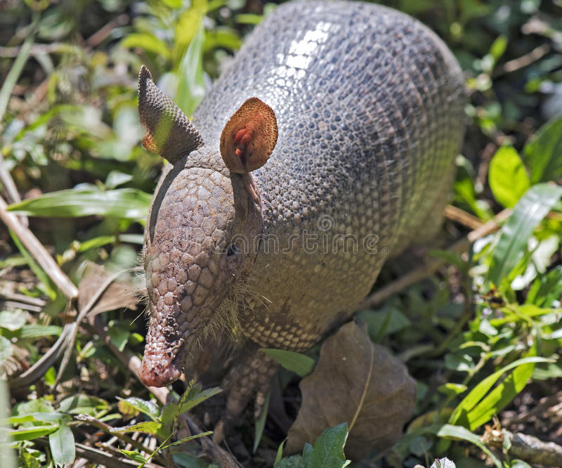 Armadillo searching for food in the field stock images