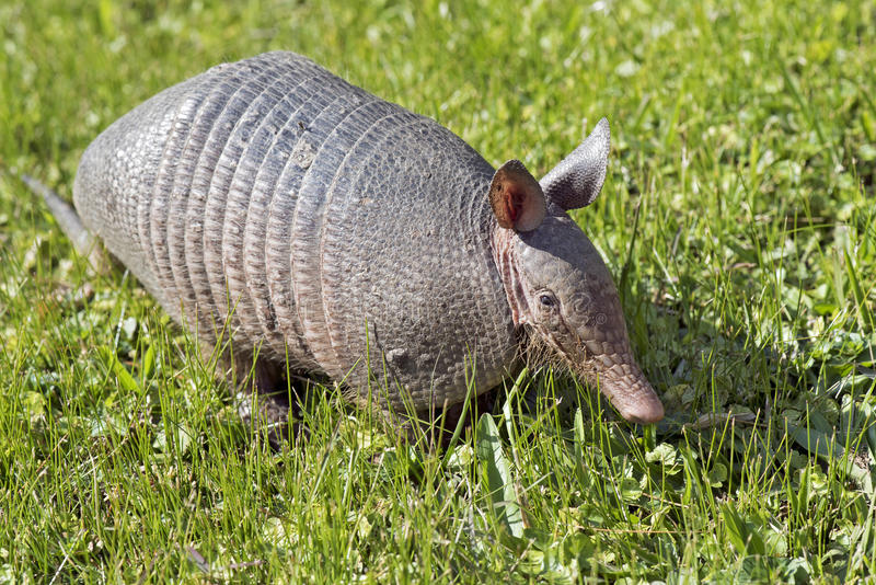 Armadillo searching for food in the field stock photo