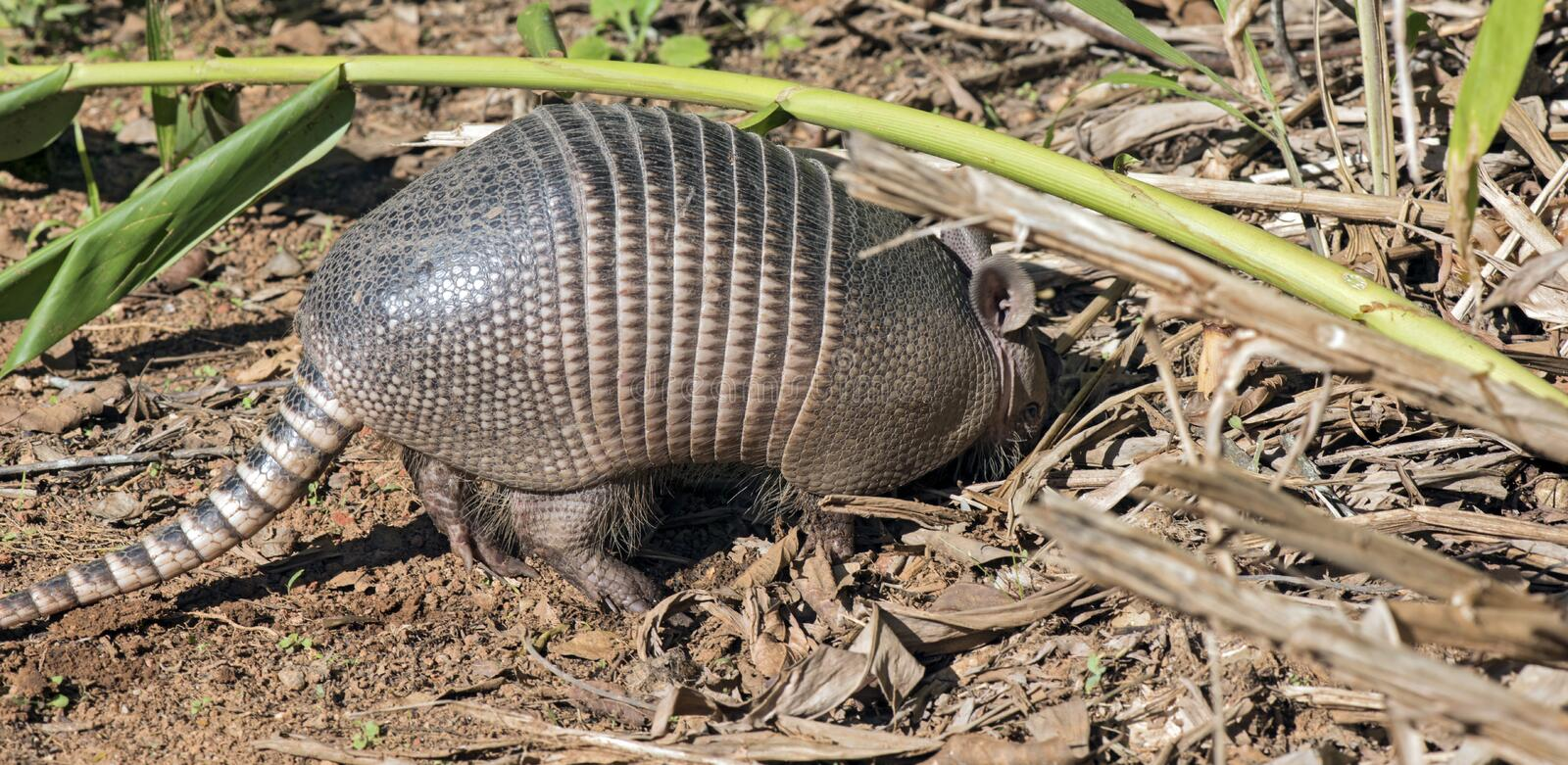 Armadillo searching for food in the field stock photography
