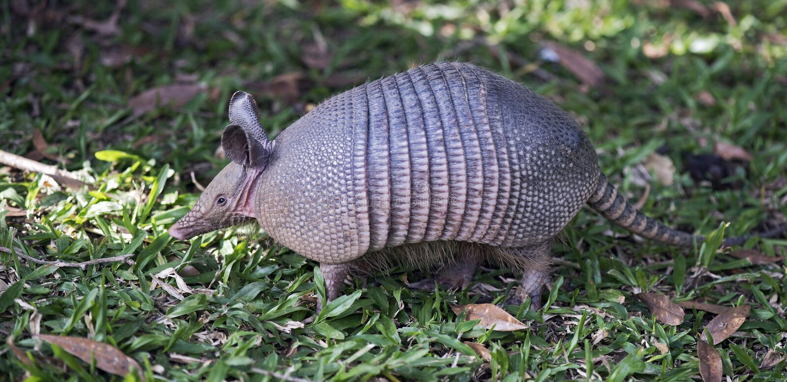 Armadillo searching for food in the field. SAO PAULO, SP, BRAZIL - JUNE 25, 2016 - Nine-banded armadillo, the most common of the armadillos, American mammal of stock photography