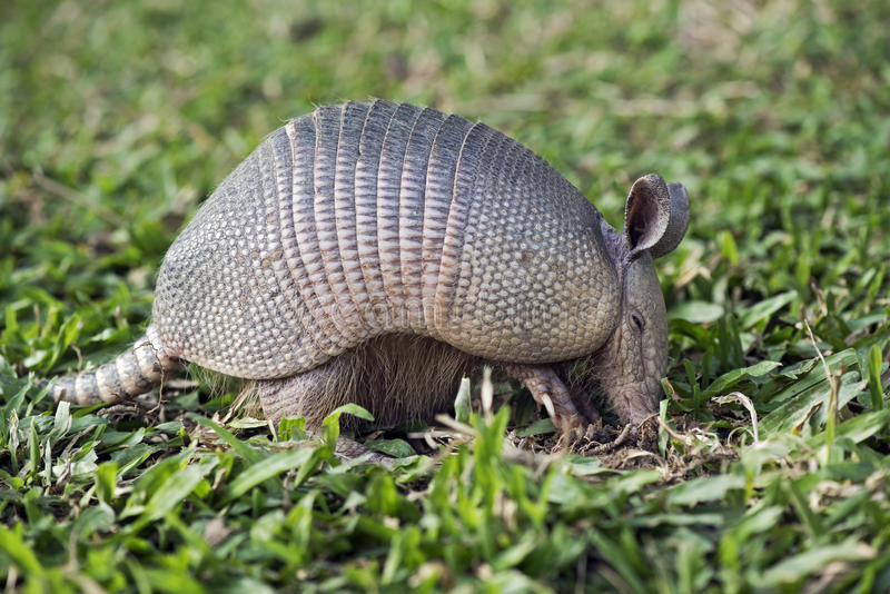 Armadillo searching for food in the field royalty free stock photos