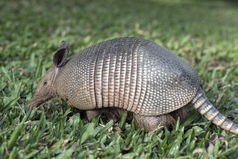 Armadillo searching for food in the field royalty free stock images