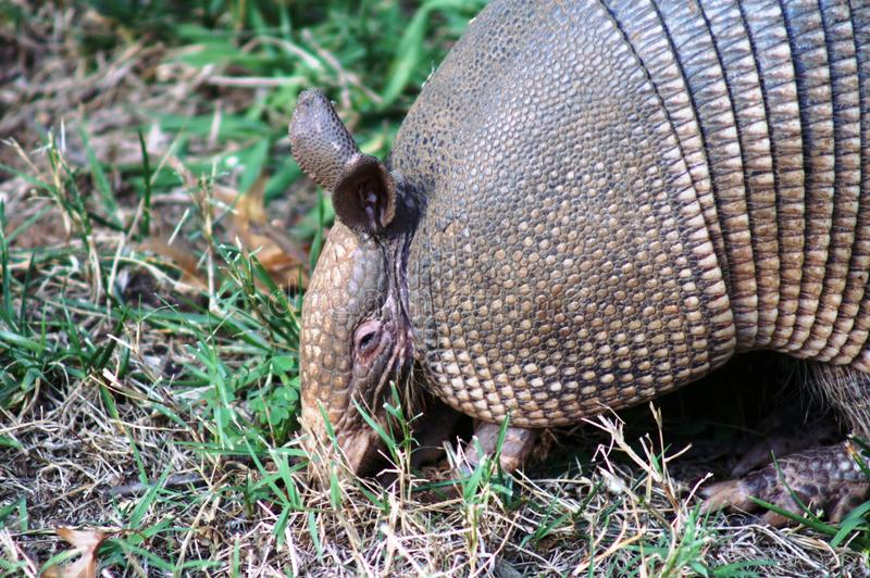 Armadillo Searching for Insects royalty free stock photography