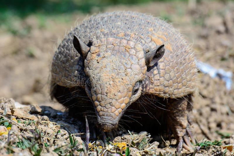 An armadillo searching for a meal stock images