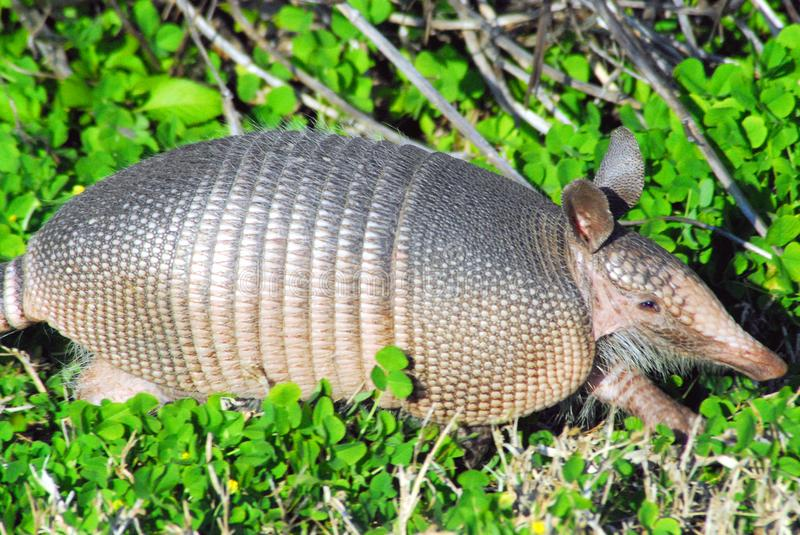 A Close Up of an Exotic Armadillo in Florida, USA. Armadillo shell animal dinosaur unique closeup walking eye ears elusive florida travel tourism fauna wild stock images