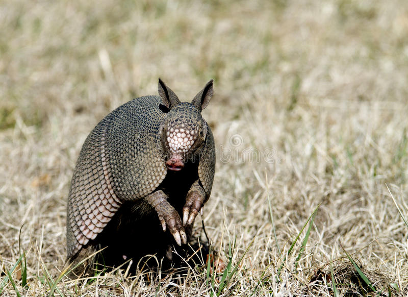 Armadillo Sits Up in the Grass. Nine-banded Armadillo sitting up with leathery armor shell on the Natchez Trace Parkway, Tishomingo County, Mississippi royalty free stock images