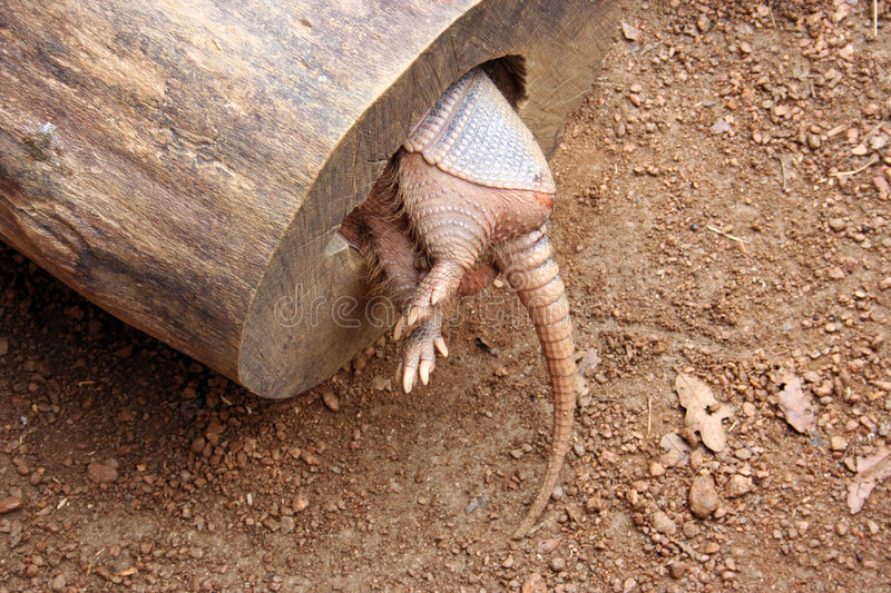 Armadillo Tail. An armadillo in a hollowed out log from the backside stock image
