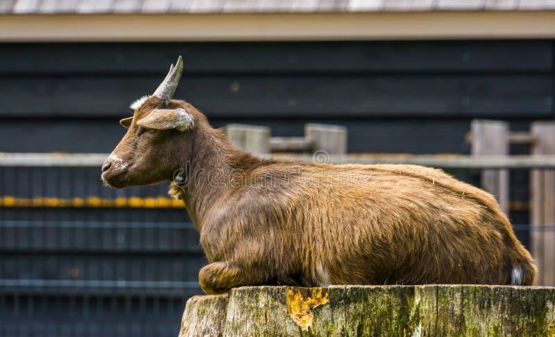 Armado de una cabra enana marrón de África occidental sentada en un trozo de árbol, popular especie de cabra silvestre, Animale fotos de archivo libres de regalías