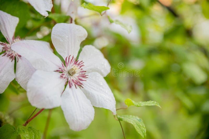 Armandii de cl?matite Clématite fleurissante de ressort à feuilles persistantes parfumé avec de belles fleurs blanches pâles buis image libre de droits