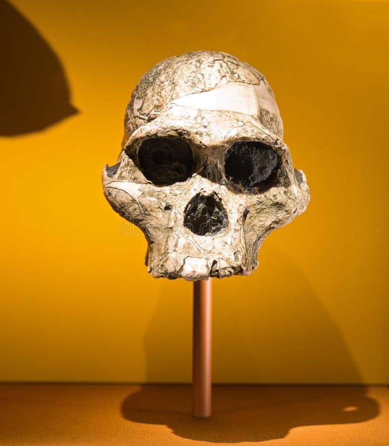 Armario con los cráneos humanos fotografía de archivo