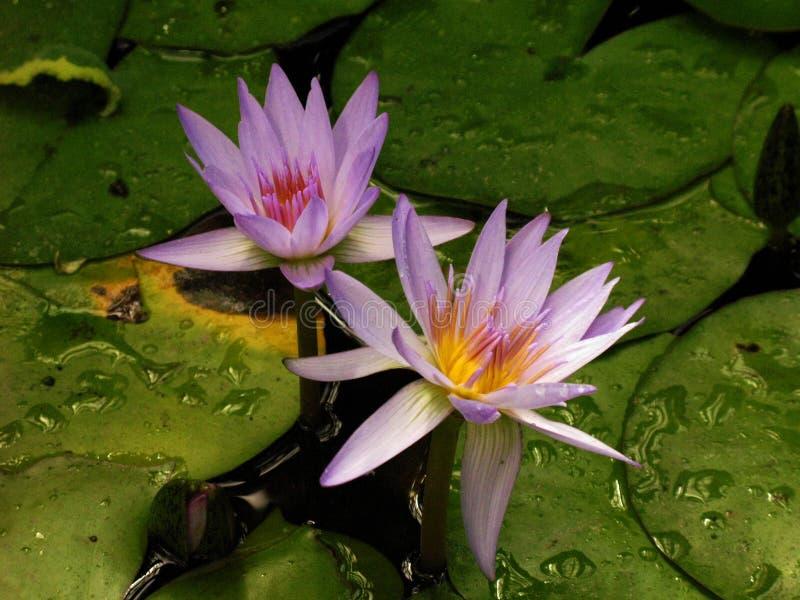 Armas púrpuras de la flor de la belleza foto de archivo