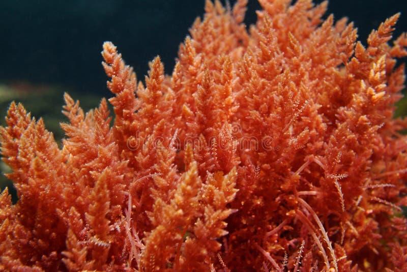 Armata van de algenasparagopsis van het harpoenonkruid rode royalty-vrije stock foto's