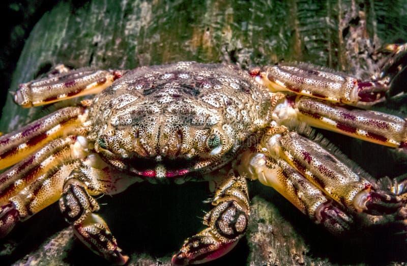 Armatus de Petrolisthes, le crabe vert de porcelaine photos libres de droits