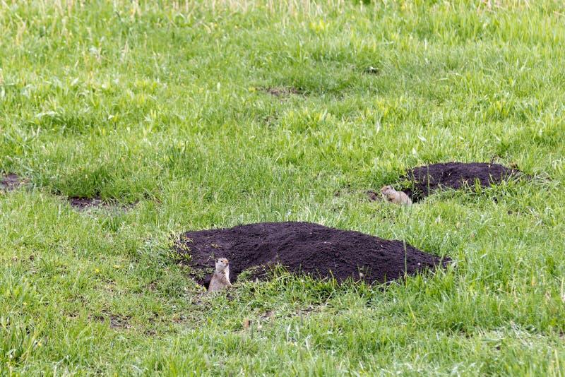 Armatus van twee eekhoornsurocitellus van de uintagrond, Grand Teton, de V.S. stock foto's