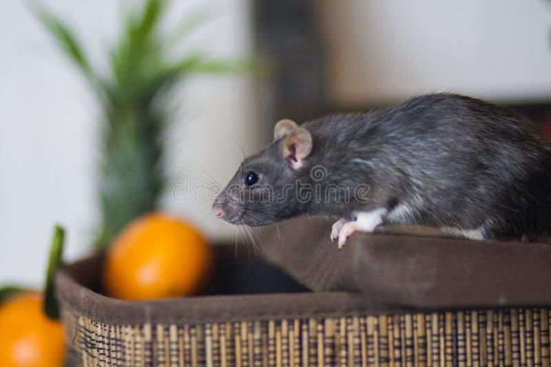 Armazém do fruto Rato cinzento O rato cinzento do rato cinzento rouba o alimento foto de stock