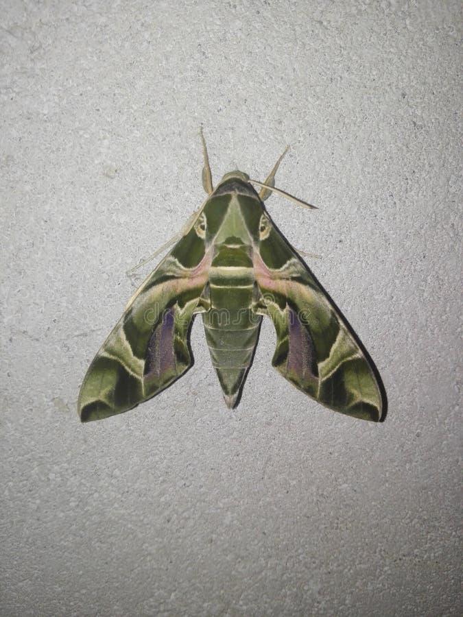 Armee-Schmetterling von Sri Lanka stockfotografie