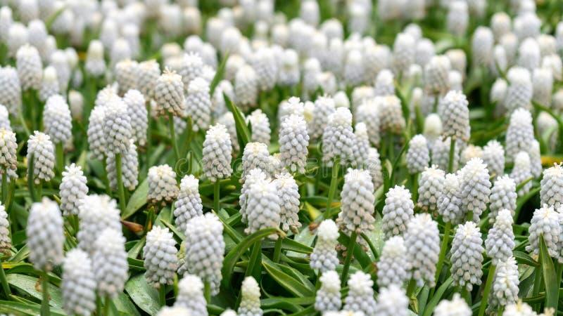 Armeniacum branco do Muscari, flores dos jacintos de uva no jardim da mola foto de stock