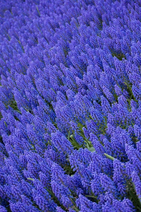 Download Armeniacum Do Muscari Ou Hyacinth De Uva Foto de Stock - Imagem de flores, folha: 10056358
