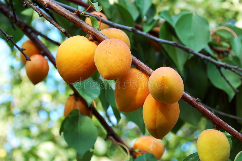 Armenian plum tree royalty free stock photography