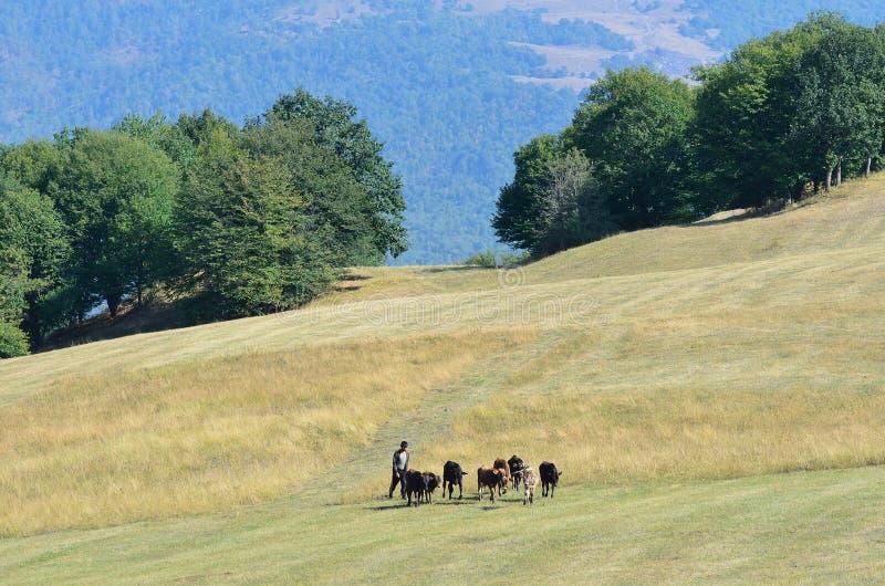 Armenien September, 11, 2014 Herden och flocken av kor på alpint betar royaltyfri bild
