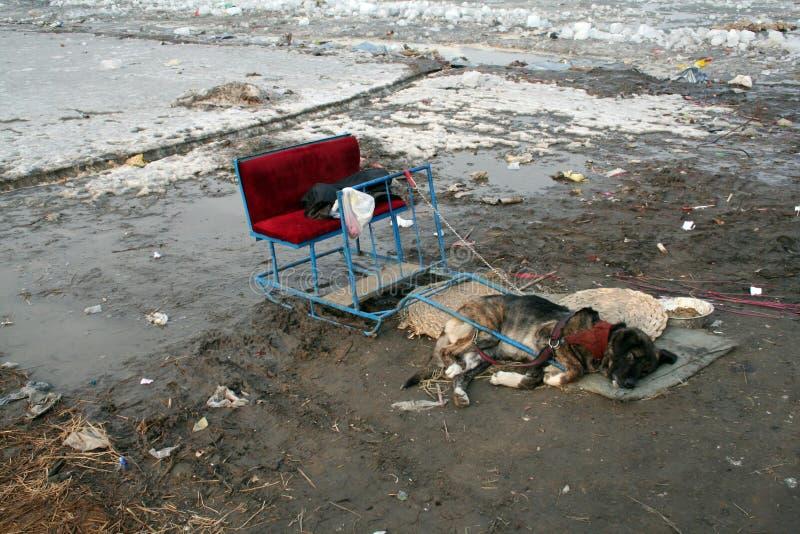 Armer Hund vorgespannt zu einem kleinen Pferdeschlitten, legend auf einer schmutzigen Wolldecke umgeben durch Schlamm und Abfall  lizenzfreies stockfoto