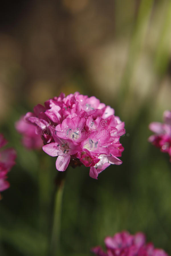 Download Armeria stock image. Image of nature, petals, pink, smell - 20019253