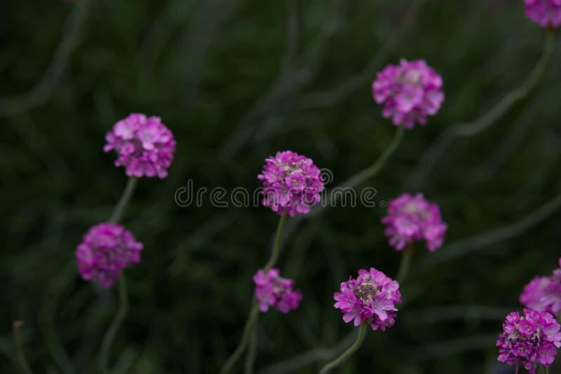Armeria maritima. Pink Armeria maritim in garden stock image