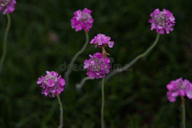 Armeria maritima. Pink Armeria maritim in garden stock photo