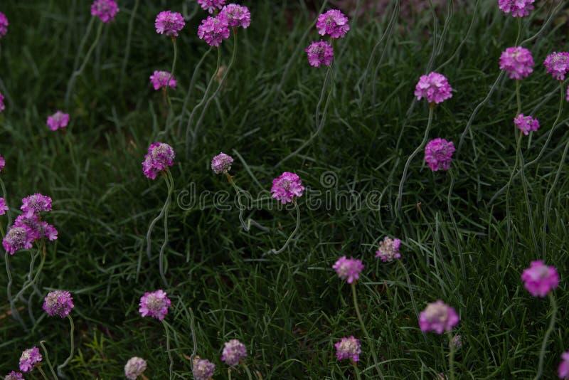Armeria maritima. Pink Armeria maritim in garden royalty free stock image