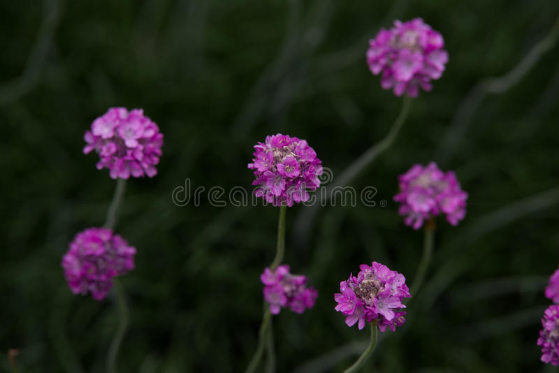 Armeria maritima. Pink Armeria maritim in garden royalty free stock photography