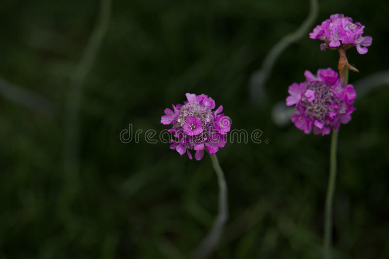 Armeria maritima. Pink Armeria maritim in garden stock photos