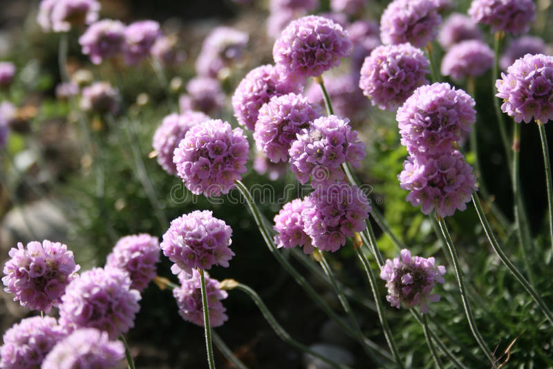 Armeria maritima (Sea Thrift). In a botanical garden royalty free stock images