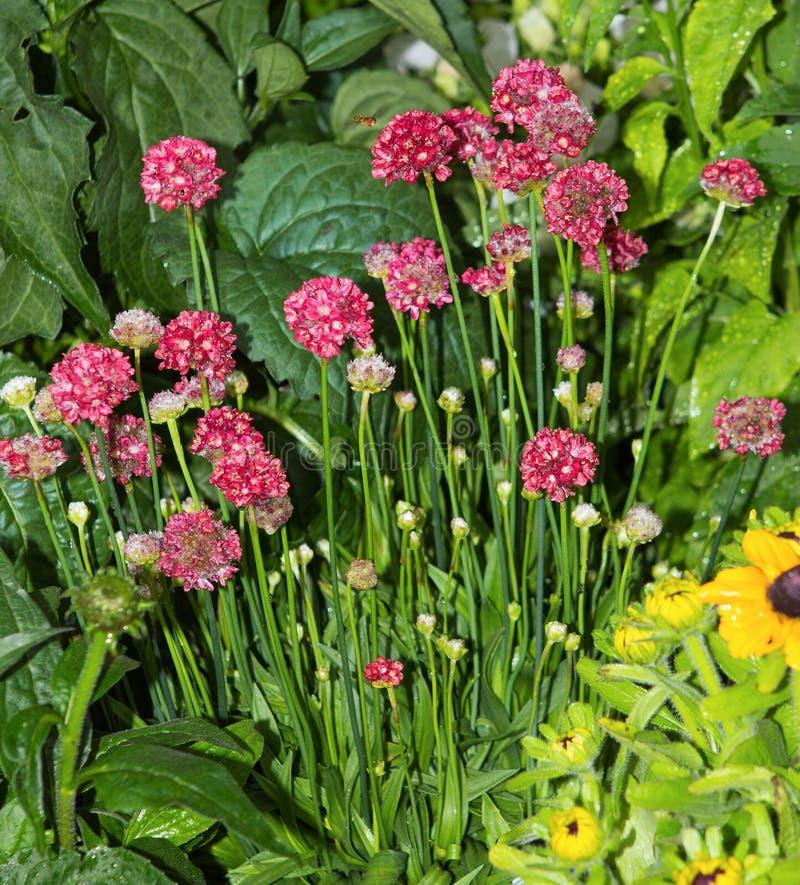 Armeriabloesems in de tuin royalty-vrije stock afbeelding