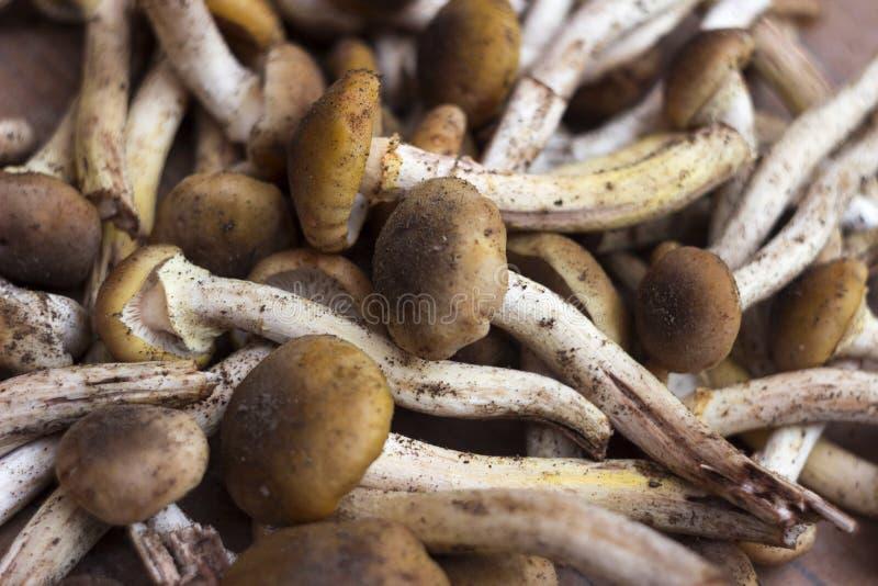 Armillaria, agaric de miel - beaucoup de champignons comestibles frais, photos libres de droits