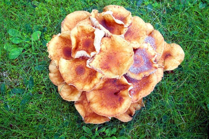 Armillaria dei funghi l'erba verde fotografie stock libere da diritti