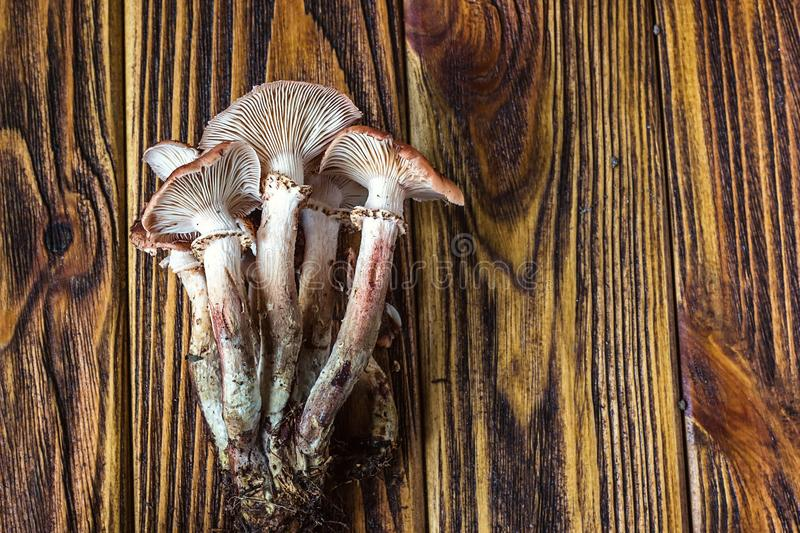 Armillaria mellea commonly known as honey fungus Fresh edible natural mushrooms placed on wooden board. Honey gel Hallimasch mushr stock images