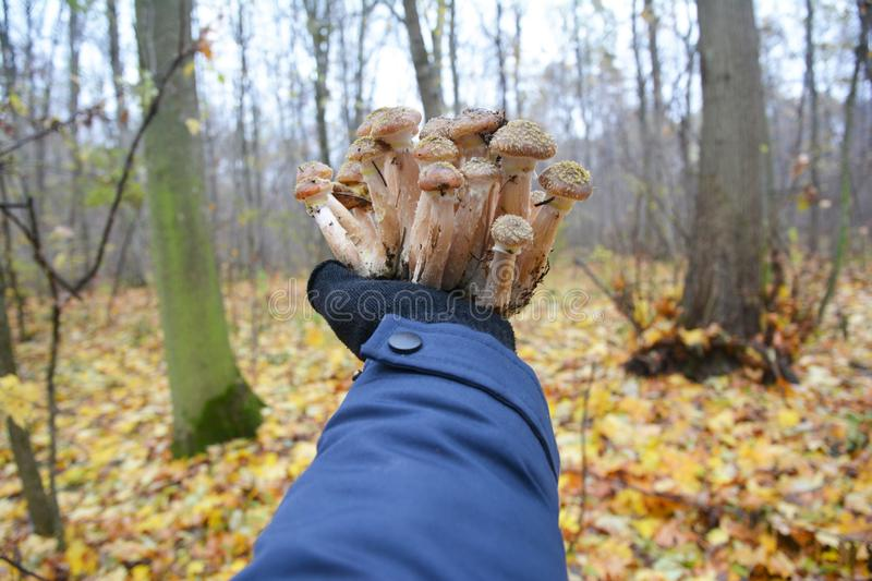 Armillaria mellea, commonly known as honey fungus. Gathering mushrooms. Forest mushroom, forest mushroom photo. Mushroomer. Gathering honey fungus mushrooms royalty free stock photography
